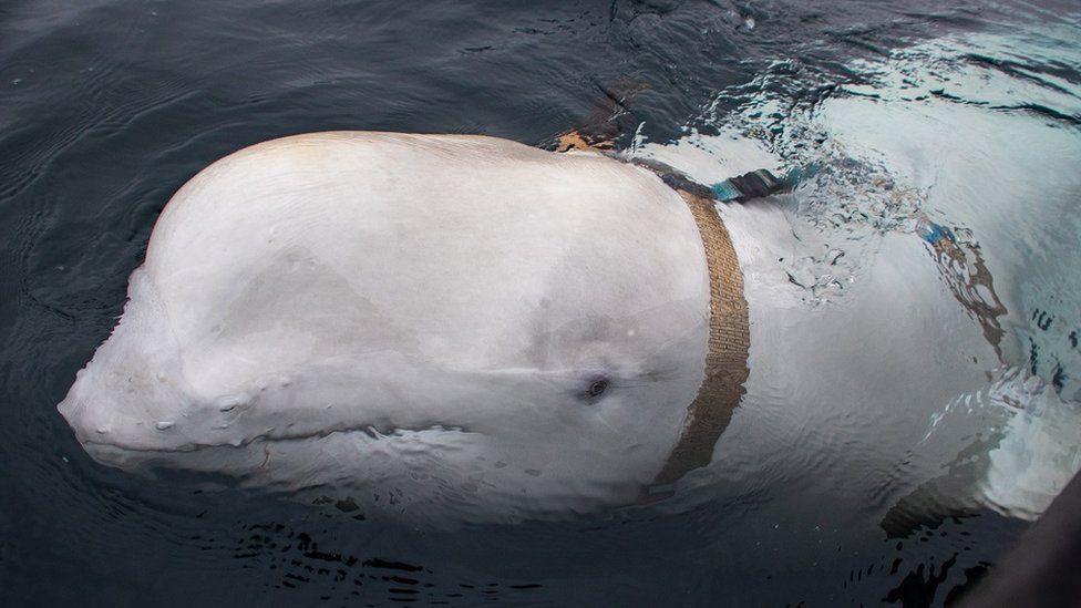 Hvaldimir the beluga whale