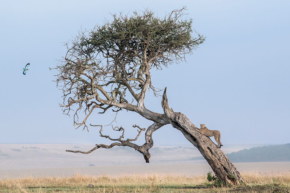 A cheetah gripping on to a tree