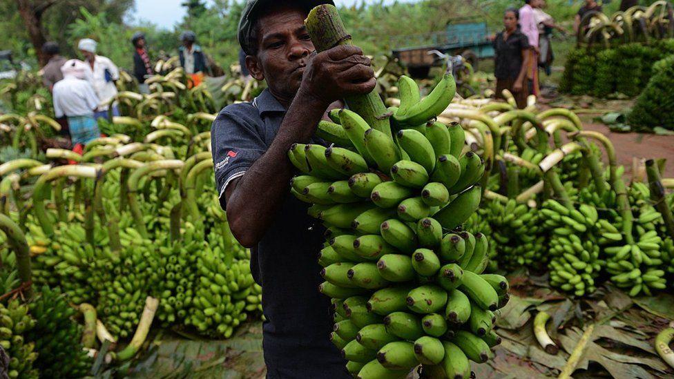 Banana farmer carries bananas