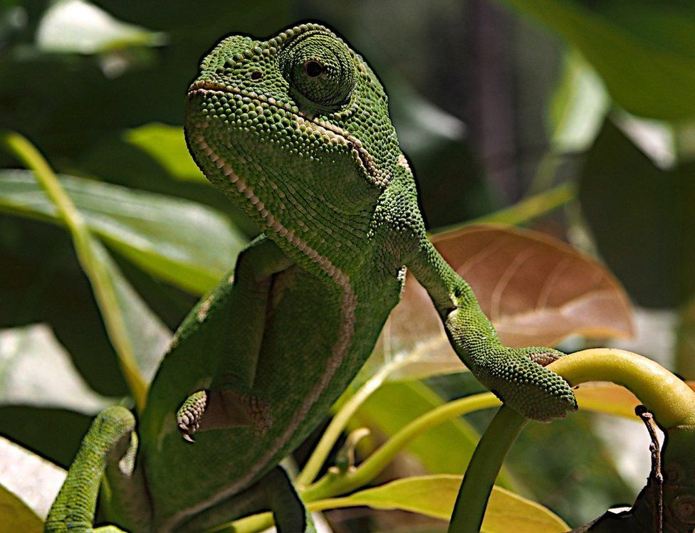 A chameleon sits on a branch.