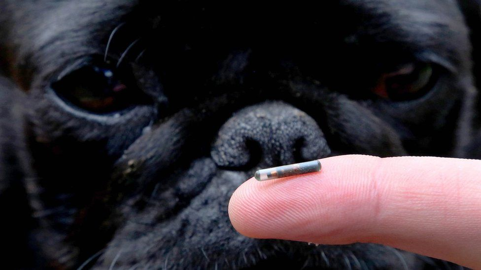 Darcy the Pug examining a dog microchip