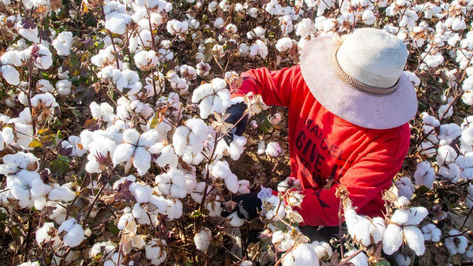 Farmer harvesting cotton in Xinjiang (October 2020)