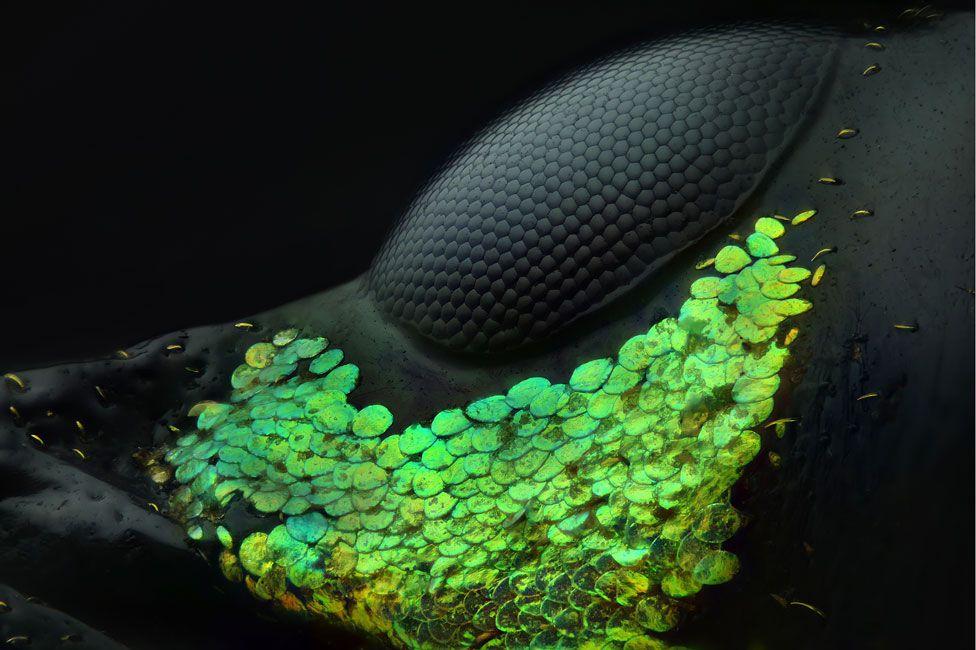 Foto de parte del ojo compuesto de un gorgojo