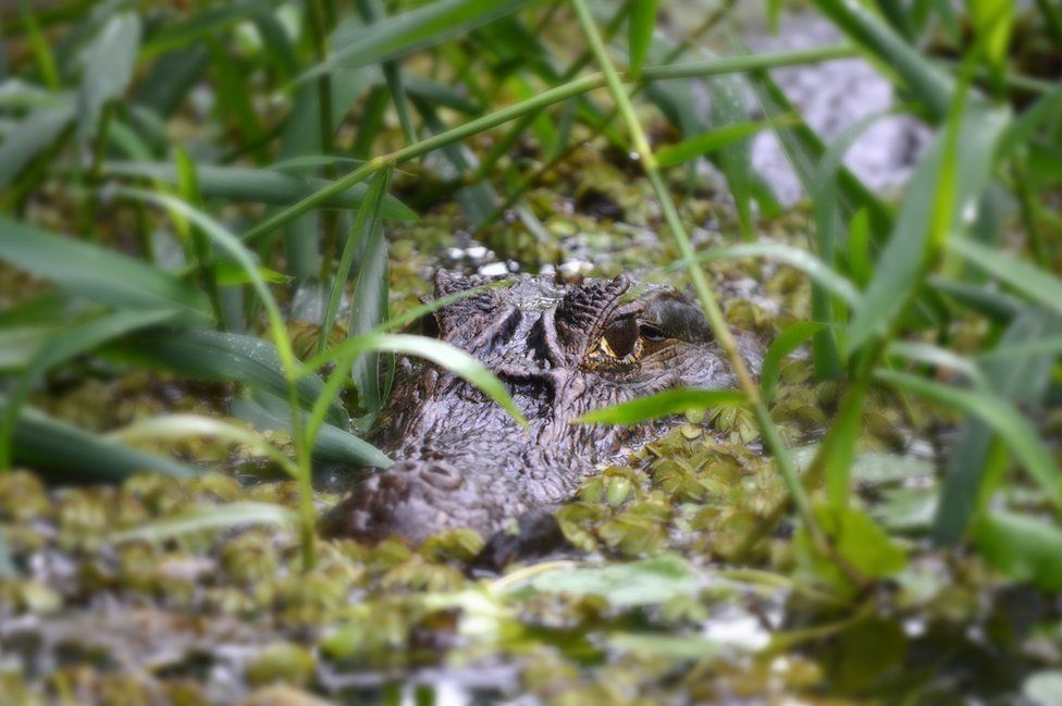 A caiman blends into the water and plants.