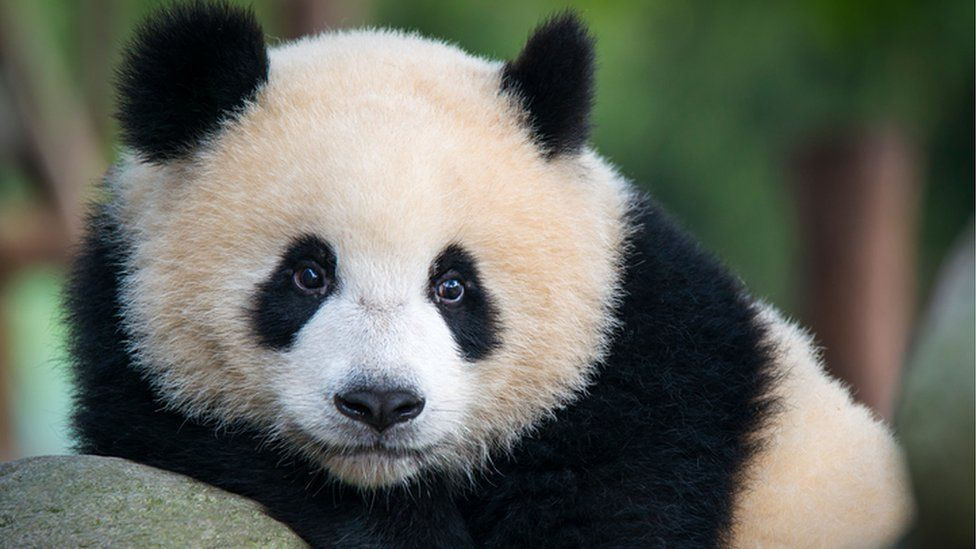Pandas can tell a mate from their calls