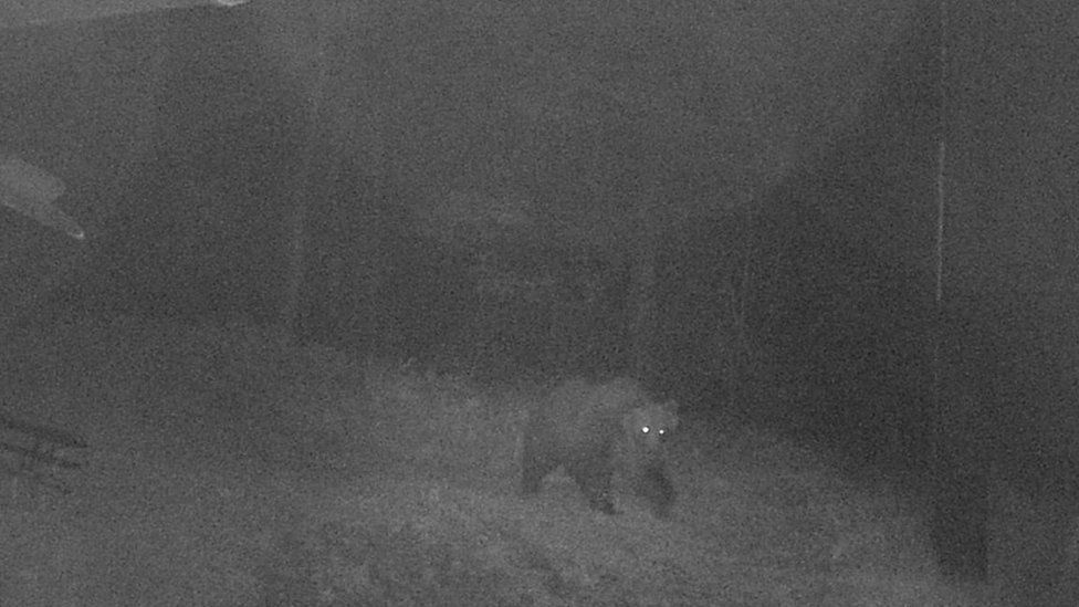 A brown bear that escaped a wildlife enclosure roams the woods in Italy