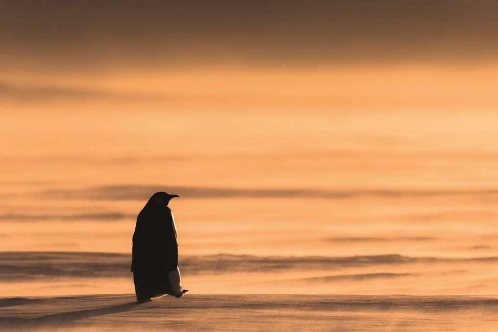 A lone penguin walks on ice during a sunset