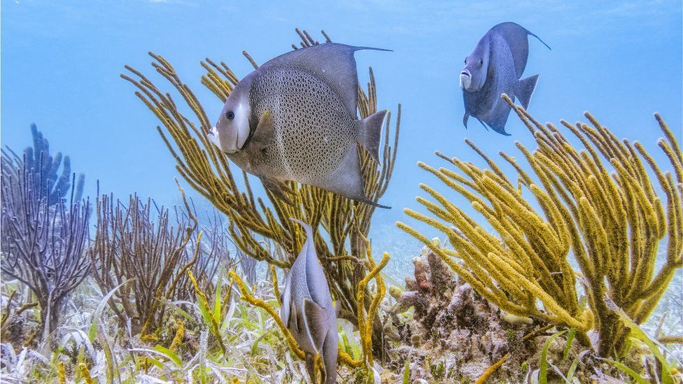 French angelfish in the Belize Barrier Reef