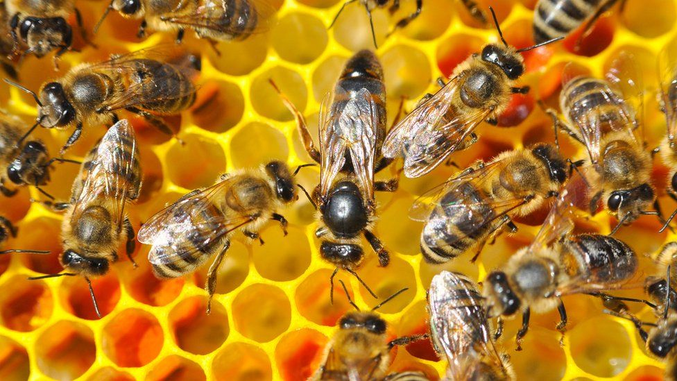 A queen bee surrounded by smaller worker bees