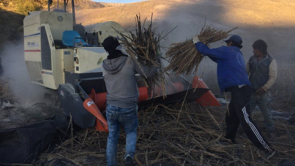 Farm workers bring in the quinoa harvest