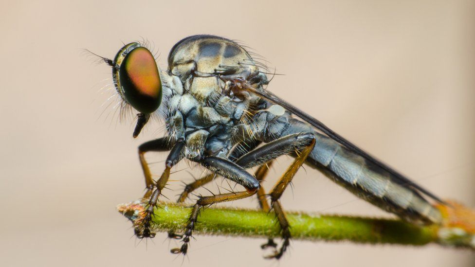 A robber fly on a plant against a brown background