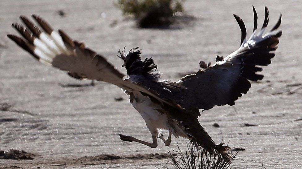 A houbara bustard during a falconry competition in Hameem, west of Abu Dhabi. Dec 2014