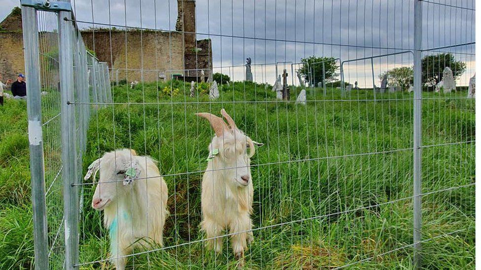 goats at St Matthew's Templebreedy Church