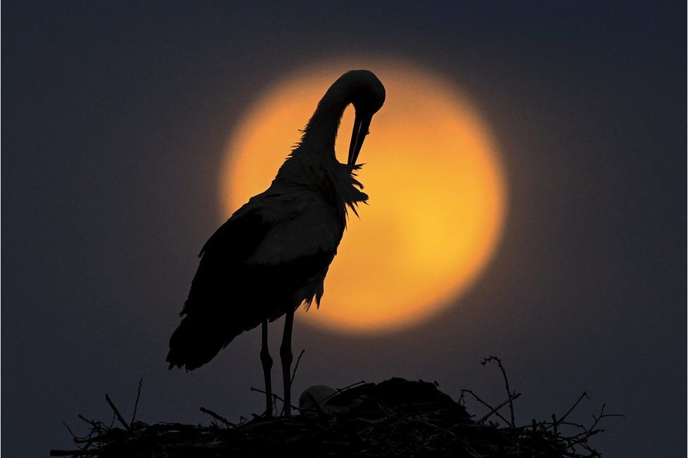 A stork preens its feathers next to its nest as the pink supermoon rises in the village of Rzanicino near Skopje in the Republic of North Macedonia
