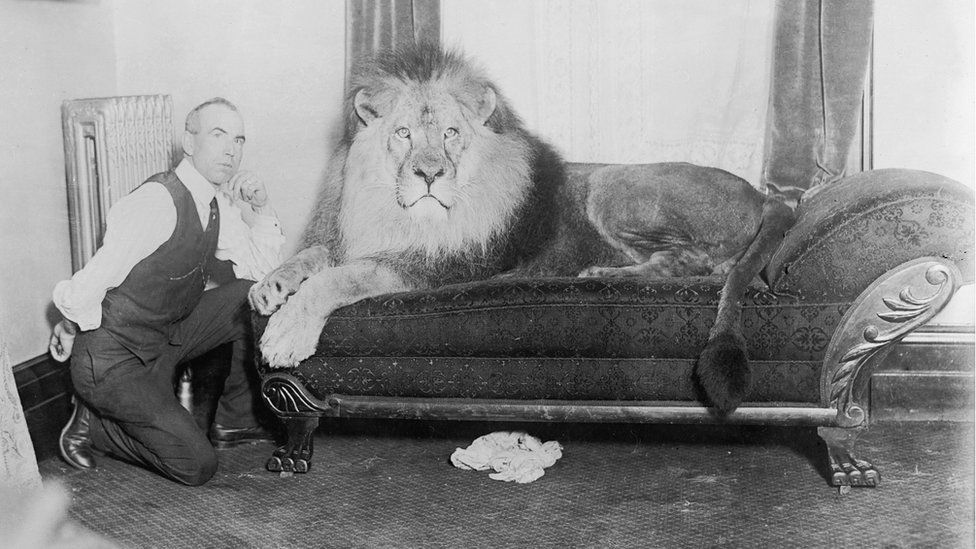 1930s image of lion on a sofa with trainer kneeling beside it