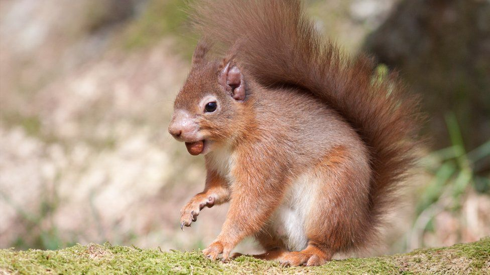The effects of the disease can be seen on the squirrel's ear and muzzle