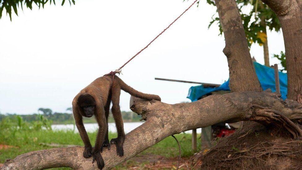 Monkey tied to a tree