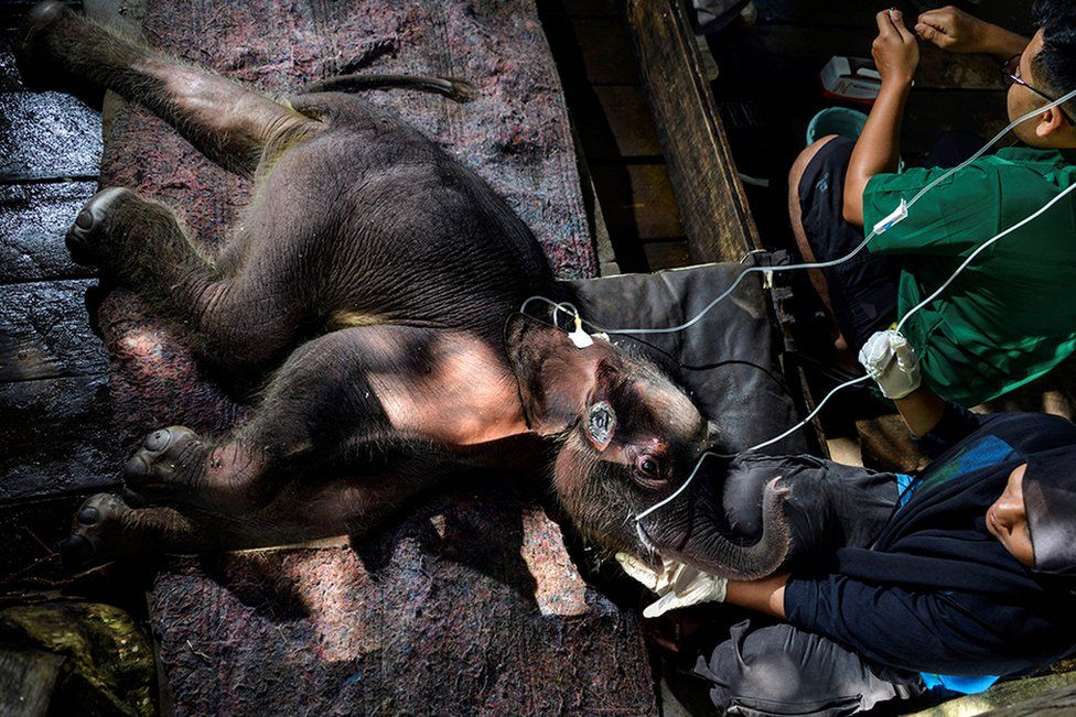 A Sumatran elephant calf receives medical attention at the Saree elephant conservation centre in Saree, Indonesia.