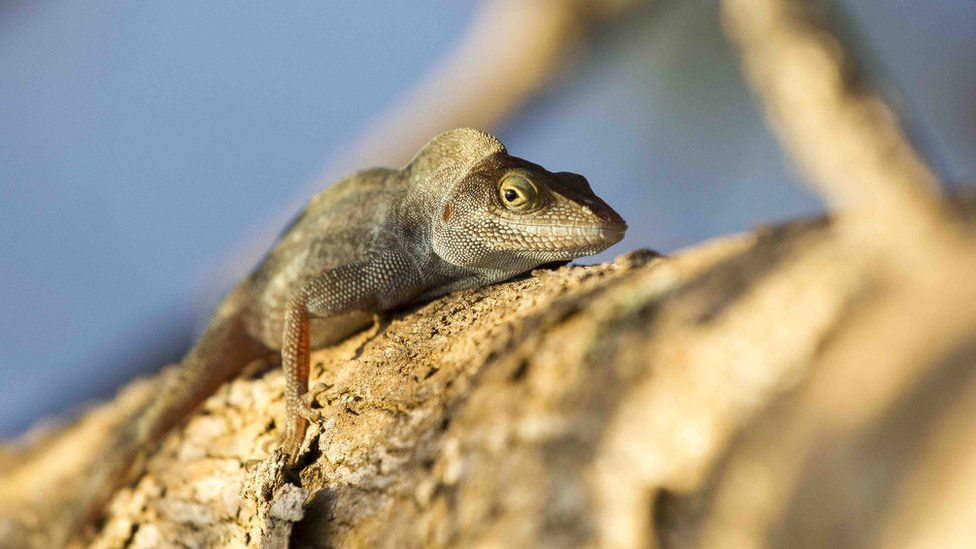 Critically endangered Redonda tree lizards are in abundance