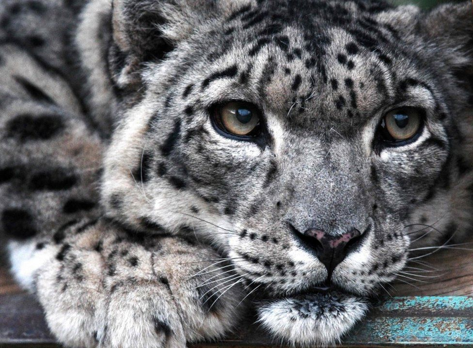 A close-up picture of a snow leopard at the NABU center in Kyrgyzstan