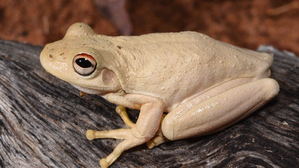 A pale Roth's tree frog