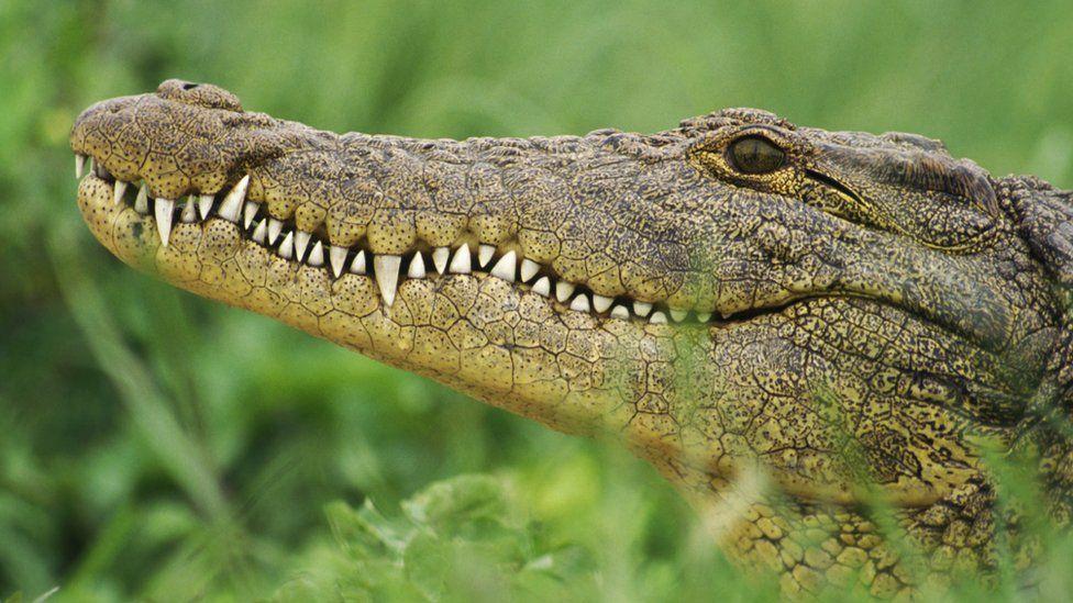File photo of a crocodile