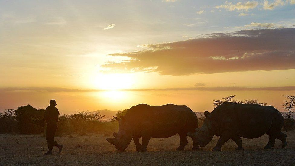 A park ranger walks ahead of a nothern white female rhinoceros named Najin and a companion southern-white female at Ol Pejeta Conservancy, some 290 kms north of the Kenyan capital, Nairobi, on January 27, 2015. Najin is one of only five members of the sub-species left on the planet, three of which reside at Ol Pejeta Conservancy. Conservationists and scientists met in Kenya this week to come up with a last ditch plan to save the northern white rhinoceros from extinction.