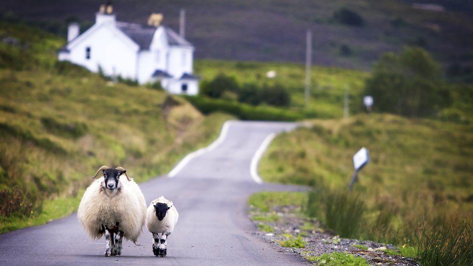 Sheep on Scottish rural road