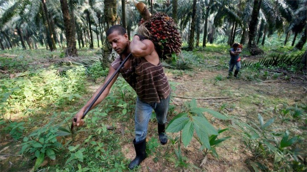 Worker collecting palm oil fruits in Malaysia