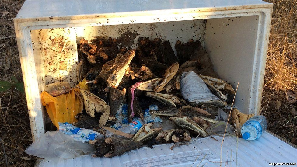 This undated picture introduced through the Northern Territory police exhibits saltwater crocodile heads inside a new freezer box at the rear of a row regarding shops in Humpty Doo city throughout Australia's Northern Territory