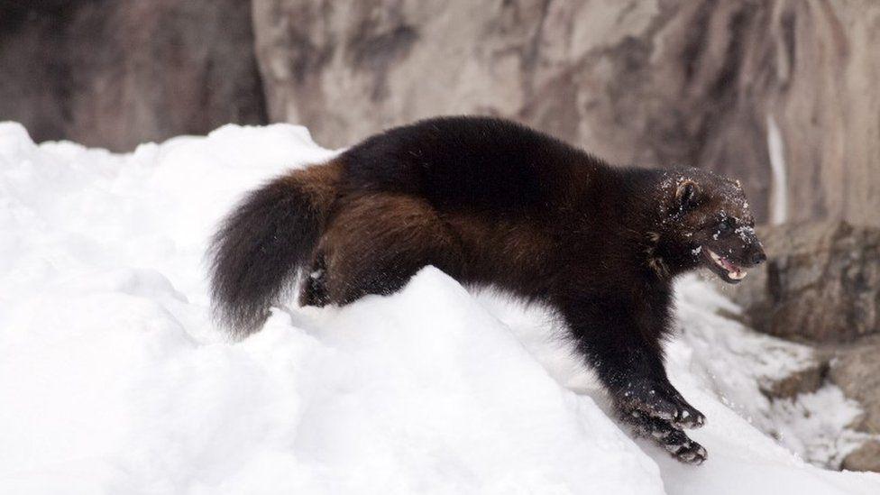 A wolverine