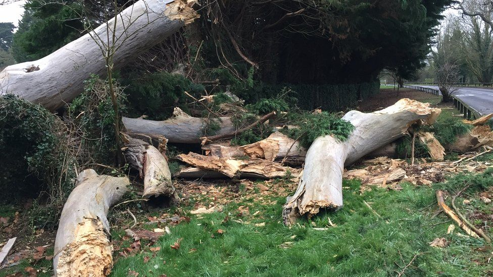 The tree involved in the fatal crash on the A308 in Egham