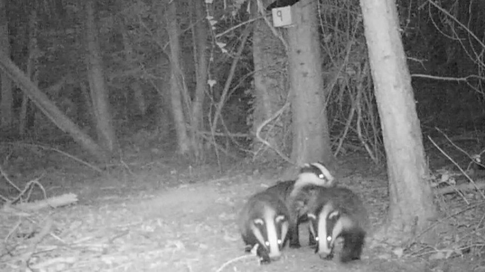 Badgers in the woods