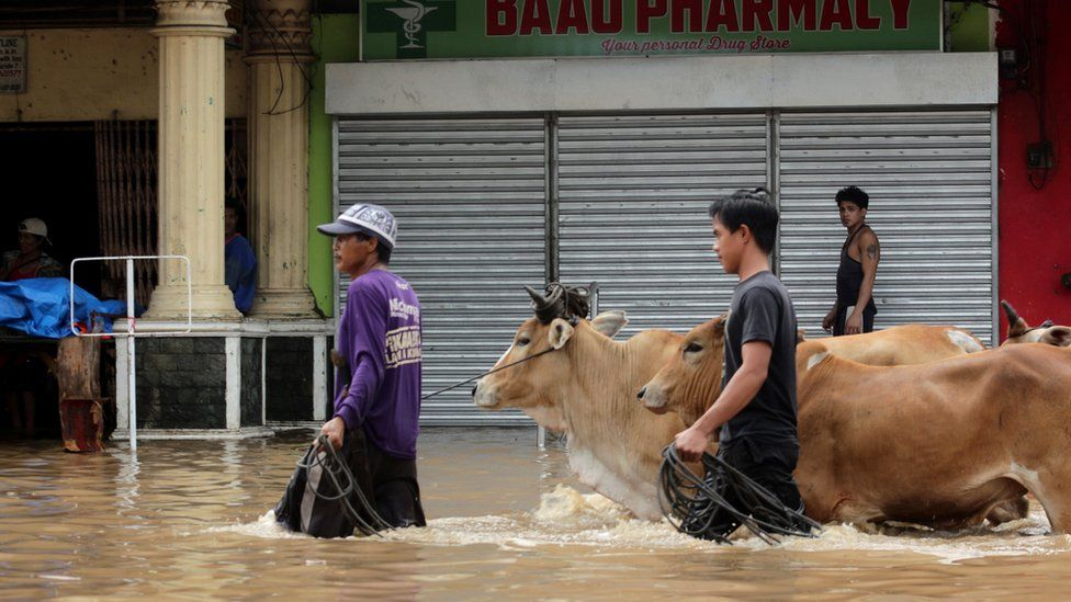 Filipinos walk cattle through flood waters after Storm Usman, December 2018