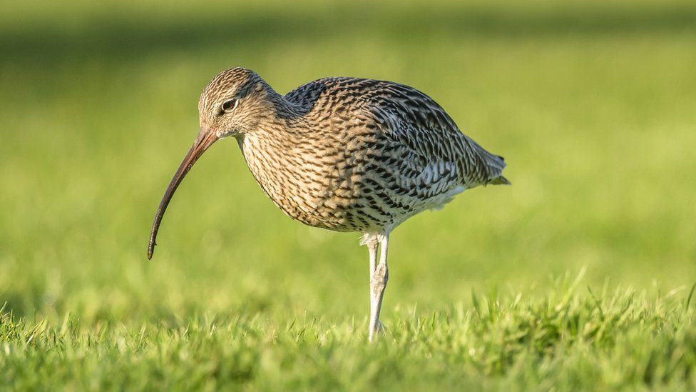 The old Irish word for curlew is 'crottach'