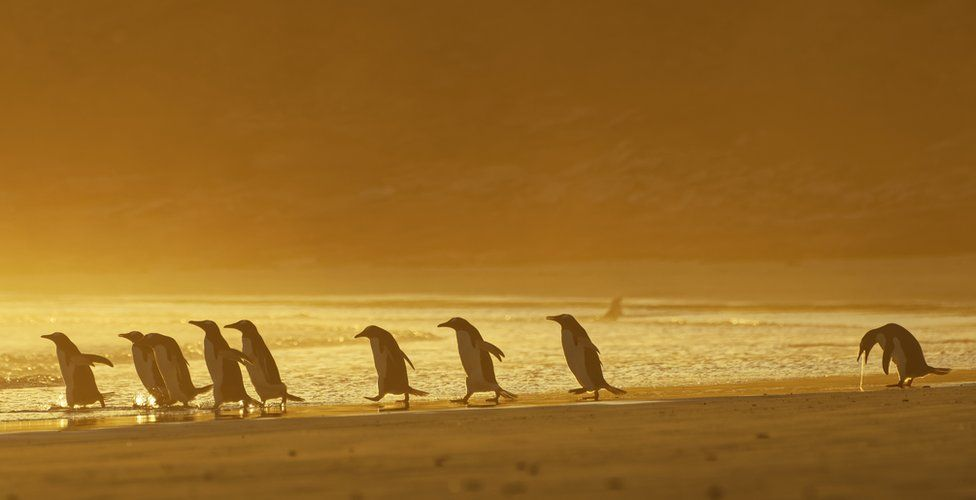 A group of penguins walking on a beach with one of them throwing up