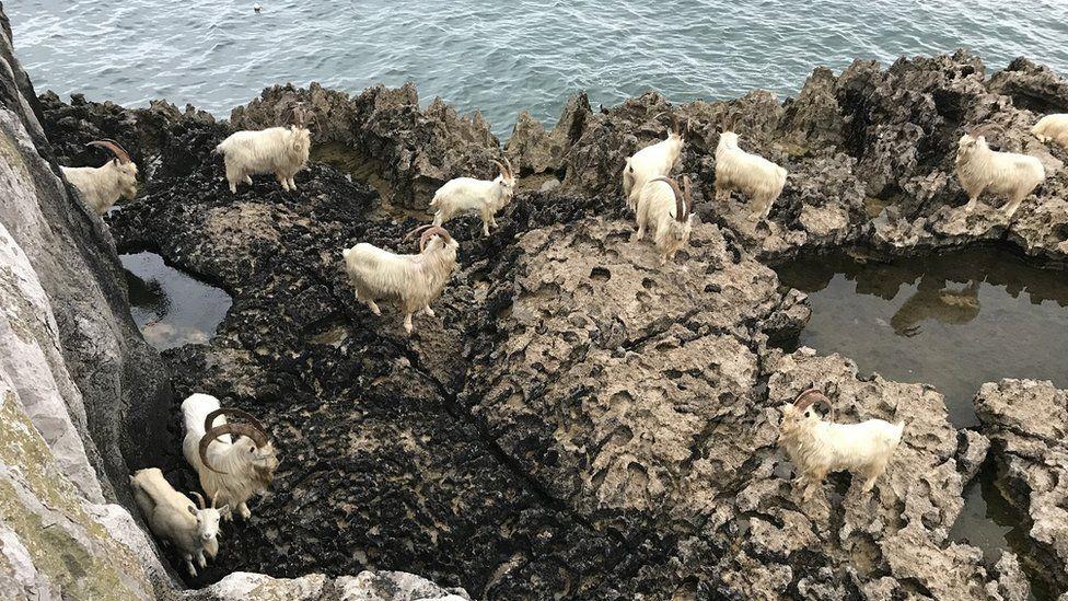 stranded goats