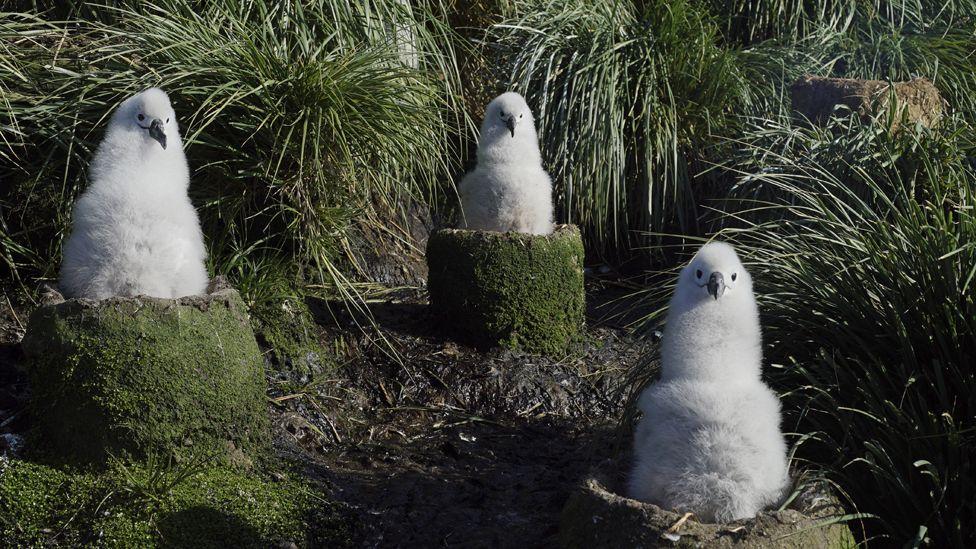 Grey headed albatross chicks.