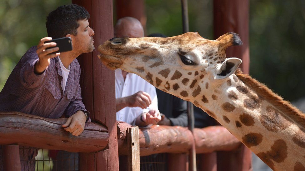 """A Rothschild sub-species giraffe is fed by a visitor at its habitat at Nairobi's giraffe conservation centre """"The Giraffe Centre""""."""