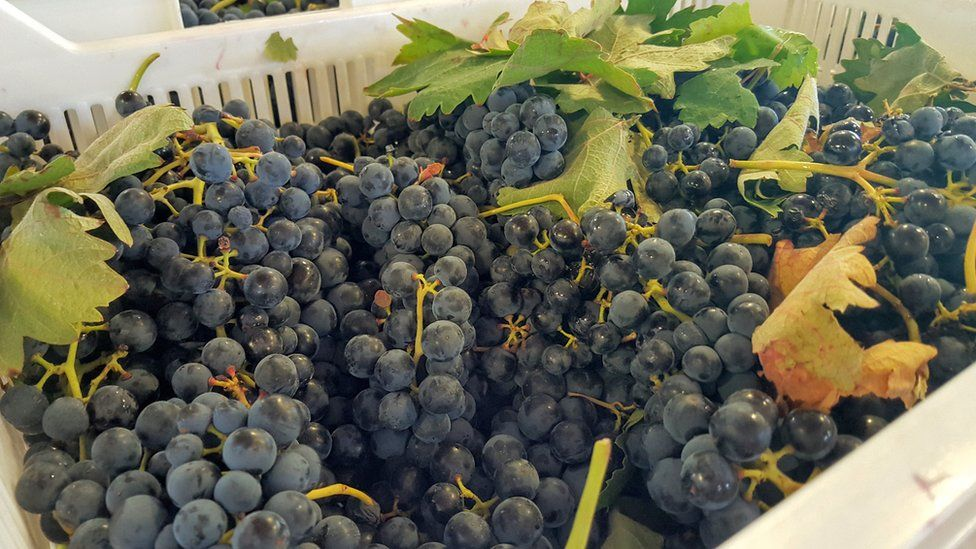 Tempranillo grapes after they have been harvested in northern Spain