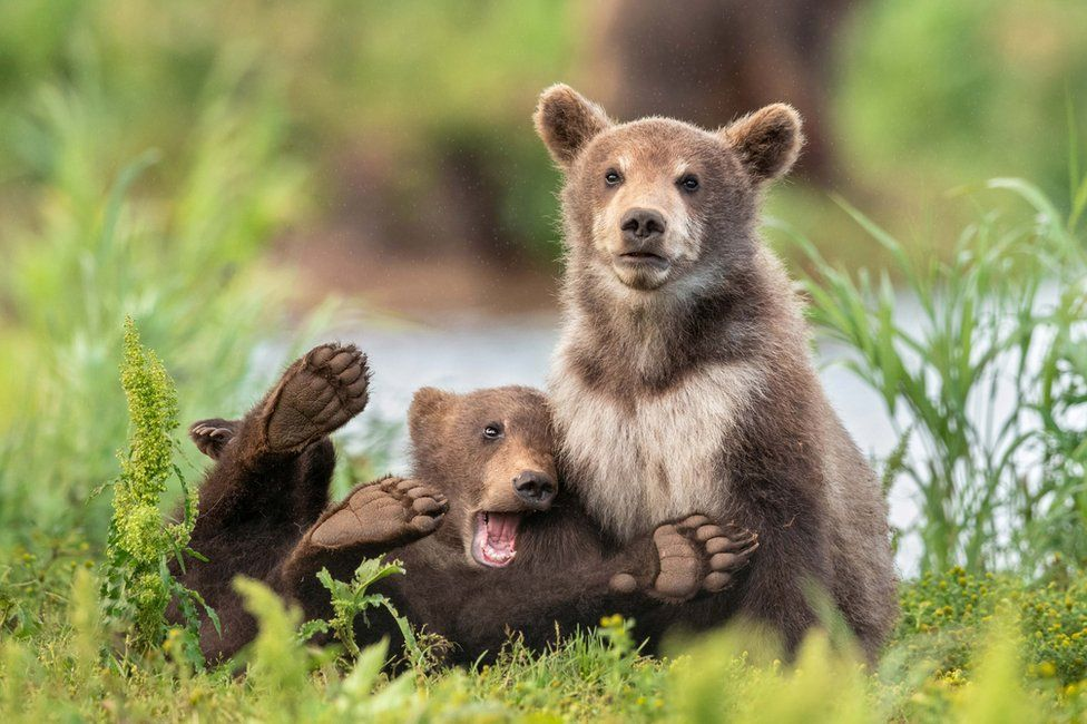Two bears, one playing around and one looking grumpy