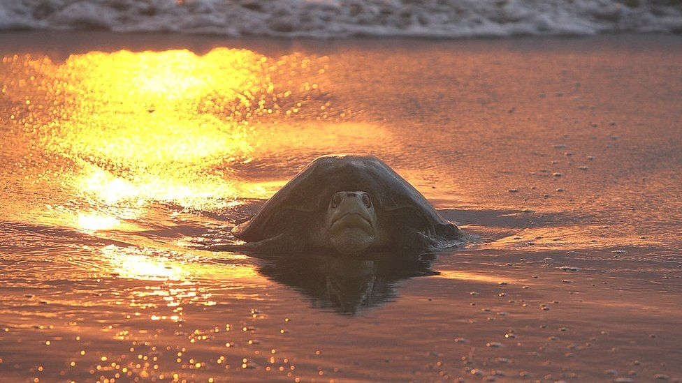 Kemp's ridley turtle on a beach in the sunset