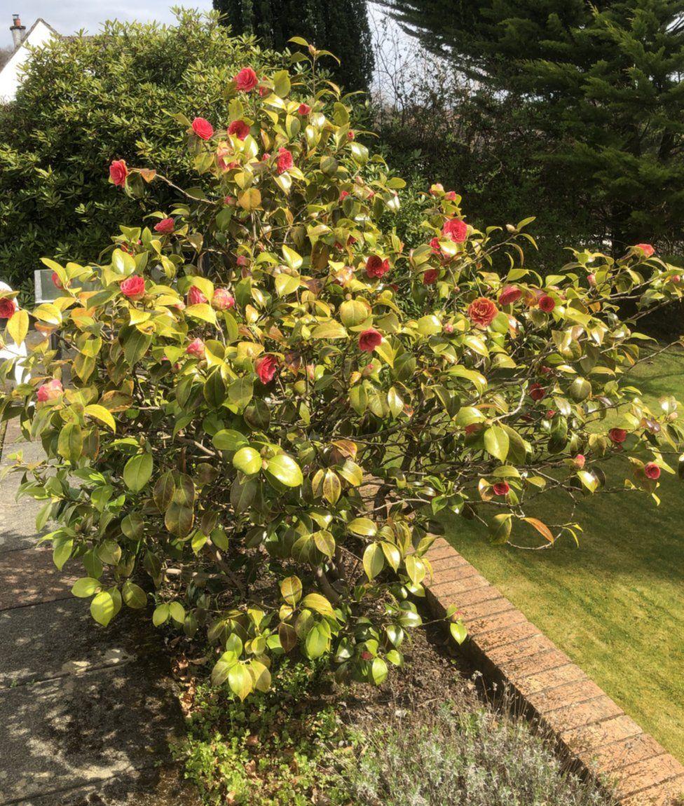 camellia in flower