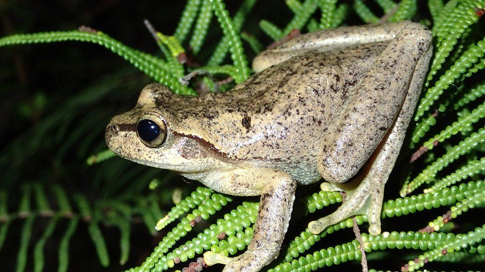 A Littlejohns Tree Frog
