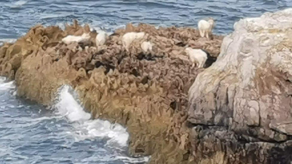 goats at Great Orme