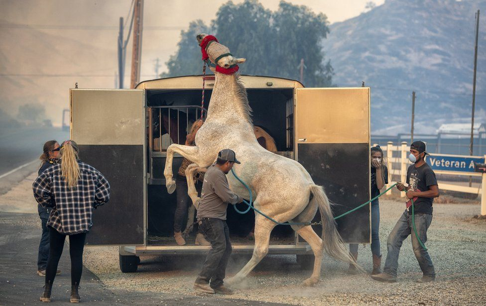 A horse bucks up onto his hind legs as handlers try to guide him into the trailer