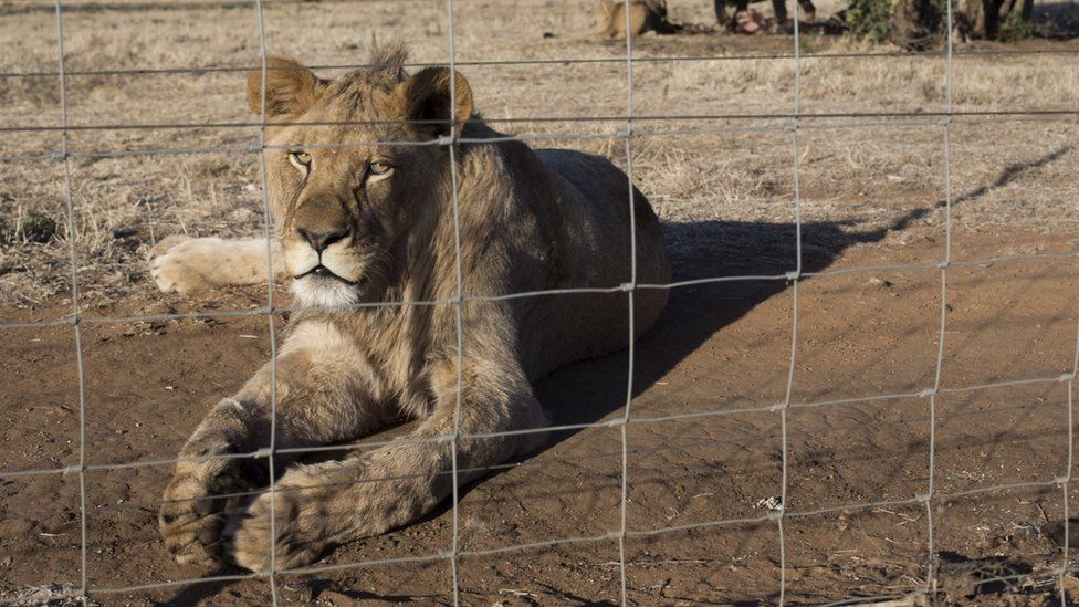 South Africa to ban lion breeding for cub petting thumbnail