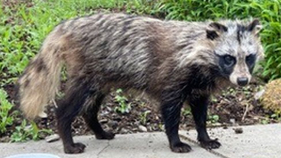 The raccoon dog