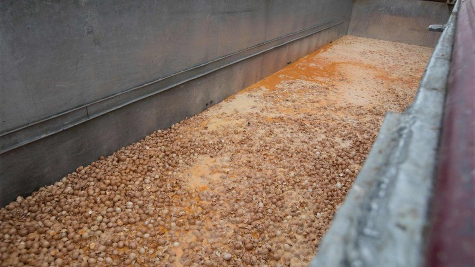 Eggs are destroyed at a chicken farm in Nadrin, Belgium, on 9 August 2017