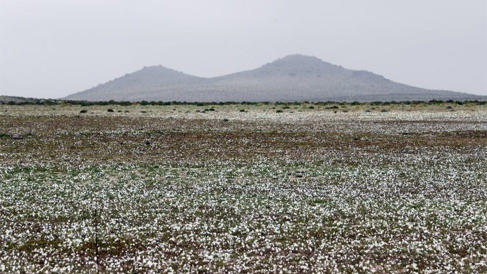 View of flowers in the Atacama Desert, Chile, on 17 August 2017